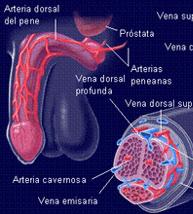 vena dorsal peneana